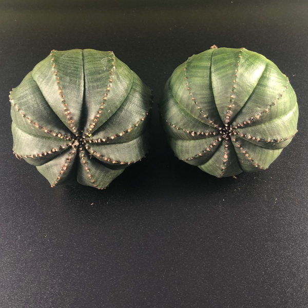 Euphorbia Obesa pair (female/male). Sold together.