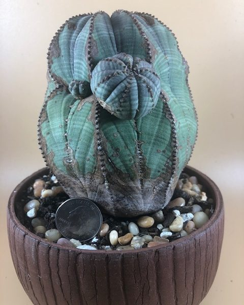 Euphorbia Obesa (Jumbo) with Pups