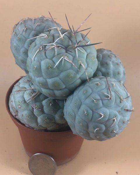 Tephrocactus Geometricus (5 Cladodes)