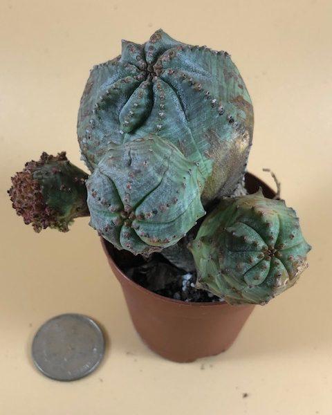 Euphorbia pseudoglobosa (#3)