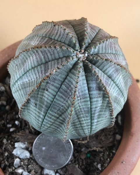 Euphorbia Obesa (Female/Baseball)