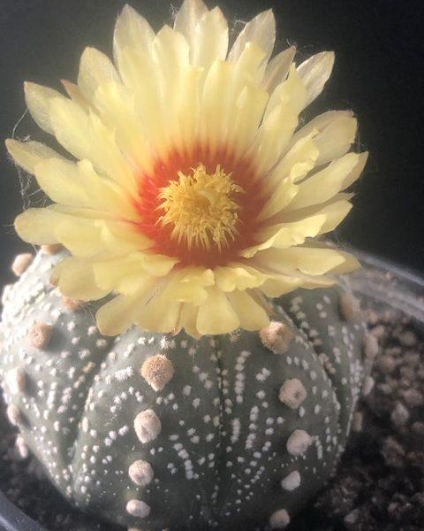 Astrophytum Asterias Ornatum (#1)