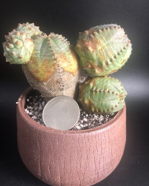 Euphorbia pseudoglobosa in handmade pot