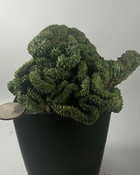 Euphorbia Horrida Crested