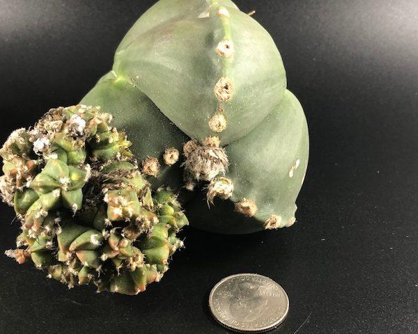 Astrophytum Myriostigma Nudum Monster