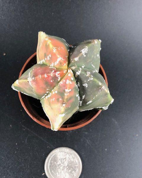 Astrophytum Myriostigma Tricolor Variegation