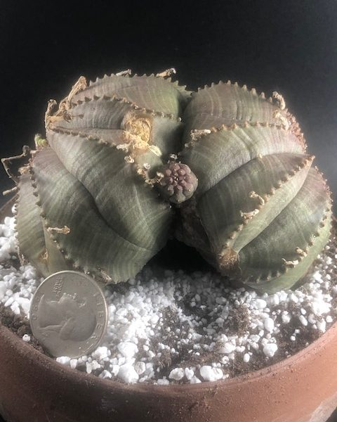 Euphorbia Obesa-Meloformis Hybrid (With two heads + pup)