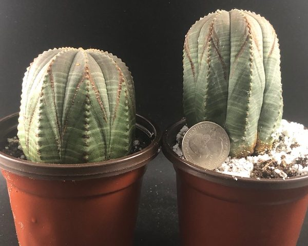 Euphorbia Obesa Couple, V-Shaped (Jada and Will)