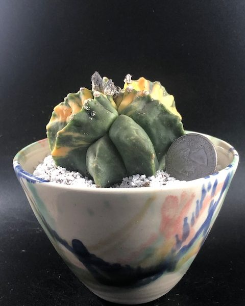 Astrophytum Myriostigma Variegated (with handmade pottery included)