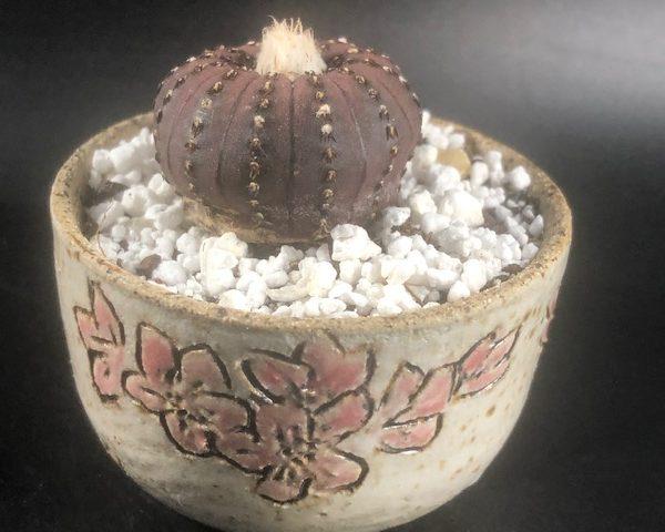 Handmade BackyardKiln Cherry Blossom Pottery + Frailea Castanea Combo