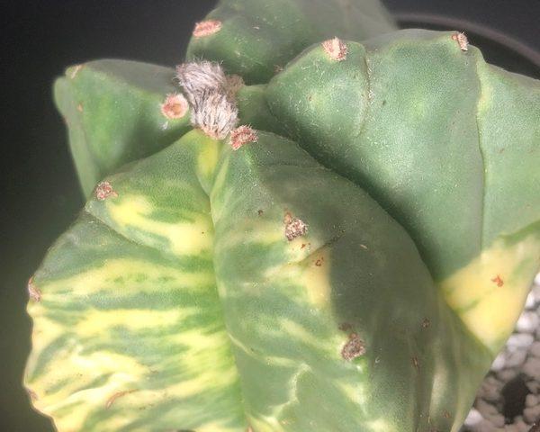 Astrophytum Myriostigma Nudum Variegated (Tiger King)