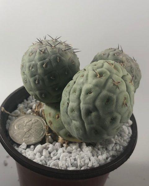 Tephrocactus Geometricus (4 Cladodes) (E)