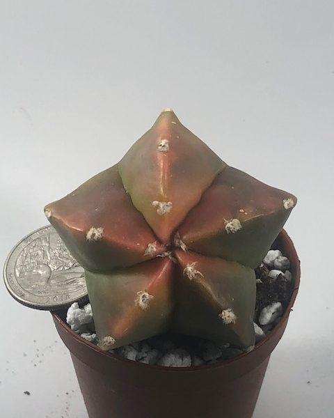 Astrophytum Myriostigma Nudum Variegated