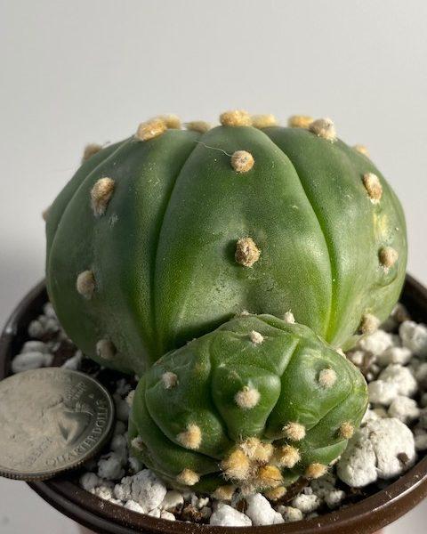 Astrophytum Asterias Nudum (1 pup)
