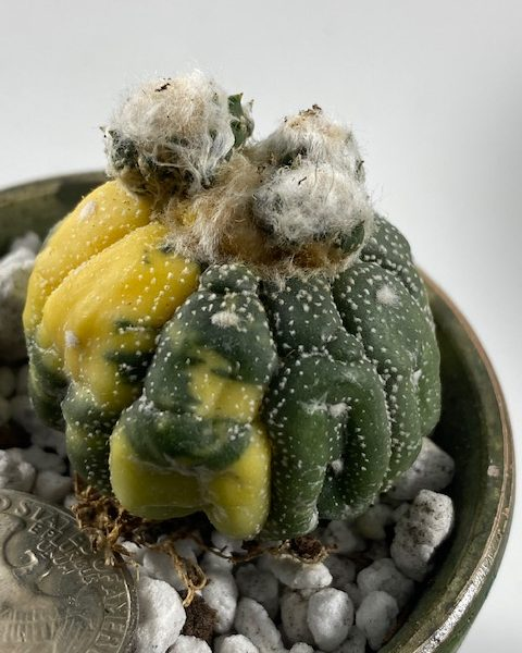 Astrophytum Asterias Variegated (with pups)