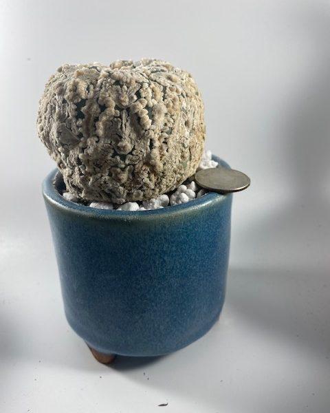Astrophytum Asterias Superkabuto + Planter Combo