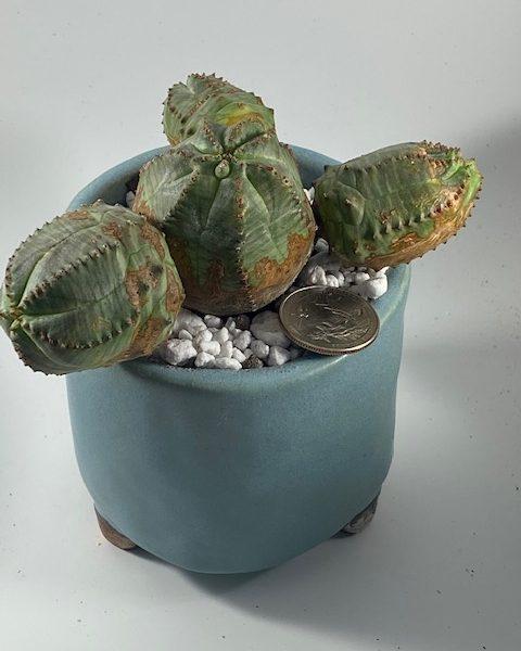 Euphorbia Pseudoglobosa + Obesa Hybrid in handmade pottery