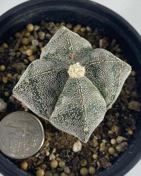 Astrophytum Myriostigma Quadricostatum