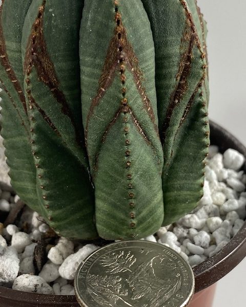 Narrow V-Shape Euphorbia Obesa