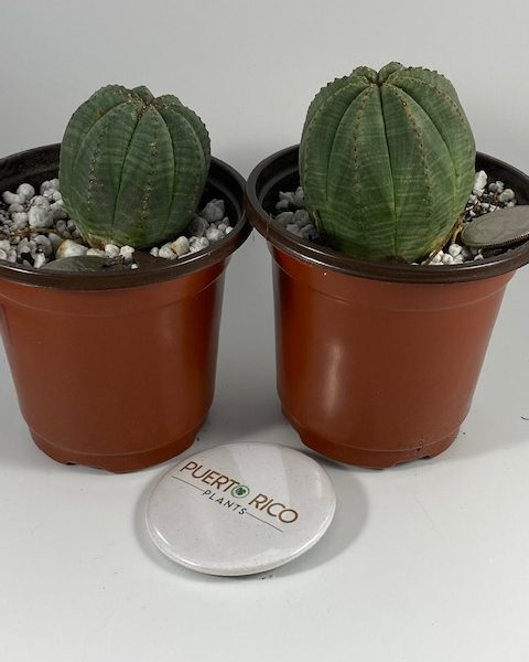 Euphorbia Obesa (MF) Couple: John and Chrissy