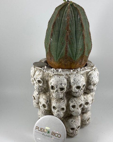 "Tall Euphorbia Obesa and handmade pottery ""La Circulo de la Muerte"" (Mexico)"