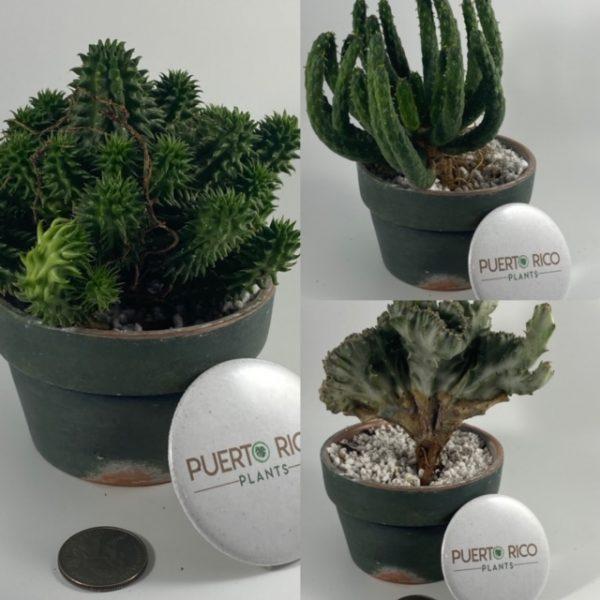 3-Plant Euphorbia Starter Set: Susannae, Inermis, Crested Variegated Lactea