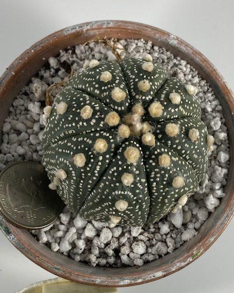 Astrophytum Asterias Superkabuto (LG1)