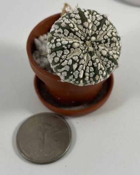 Astrophytum Asterias Superkabuto (SM4)