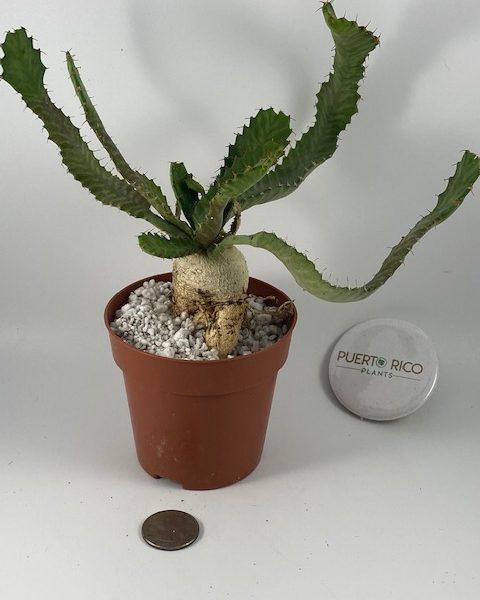Euphorbia Stellata (B)