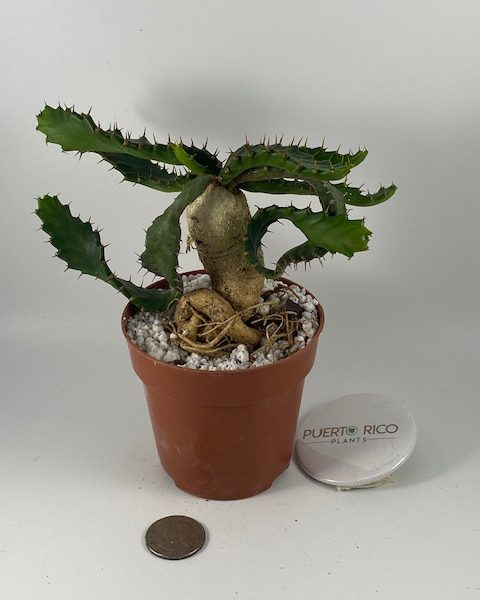 Euphorbia Stellata (C)