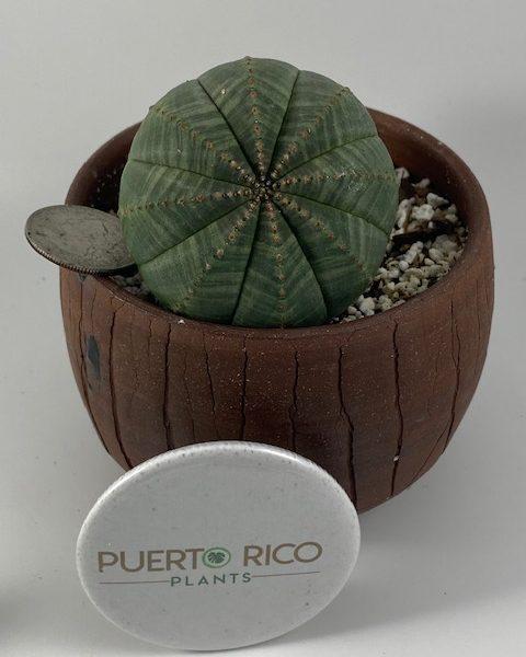Euphorbia Obesa (D)