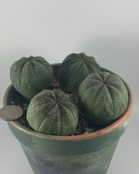 Euphorbia Obesa (set of 4)