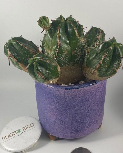 Euphorbia Handiensis in handmade pottery
