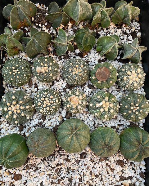 Nursery Combo Pack: 10 Astrophytum Myriostigmas; 10 Astrophytum Asterias Superkabutos; 5 Euphorbia Obesas