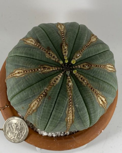 Perfect and Thick Euphorbia Obesa (Megan)