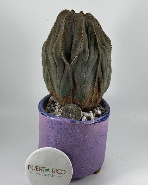 Jumbo Euphorbia Obesa (Maya) + Planter Combo