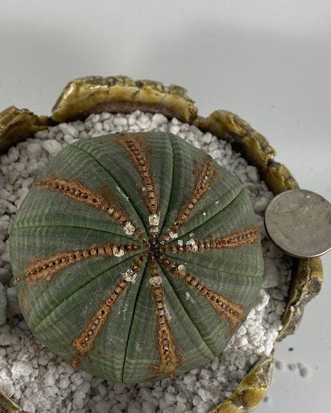 Round Euphorbia Obesa