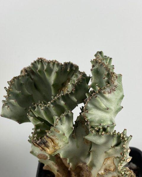 Euphorbia Lactea Crested Variegated