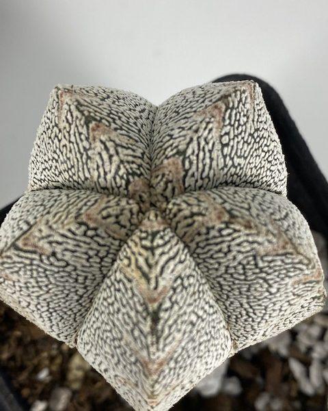 Astrophytum Onzuka (B)