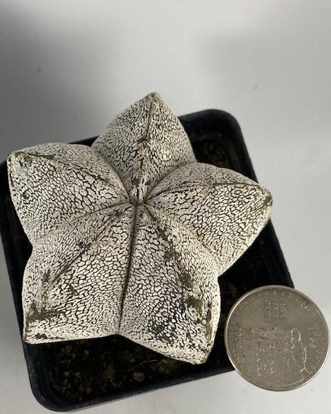 Astrophytum Onzuka [1]
