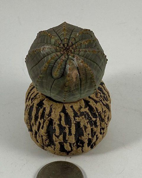 Euphorbia Obesa (Frankie)