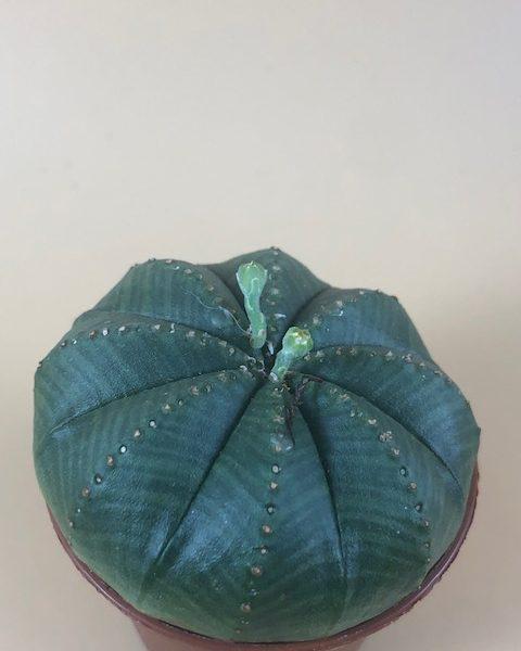Euphorbia Obesa (Male)