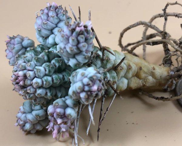 Euphorbia Mammillaris Variegated Rosette (Corn Cob)