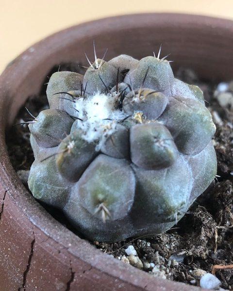 Copiapoa (1) Mollicula