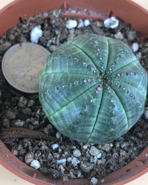 Euphorbia Obesa  (B2)