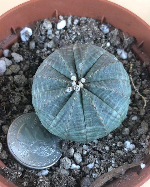 Euphorbia Obesa  (D2)