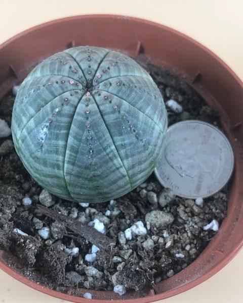 Euphorbia Obesa  (AA3)