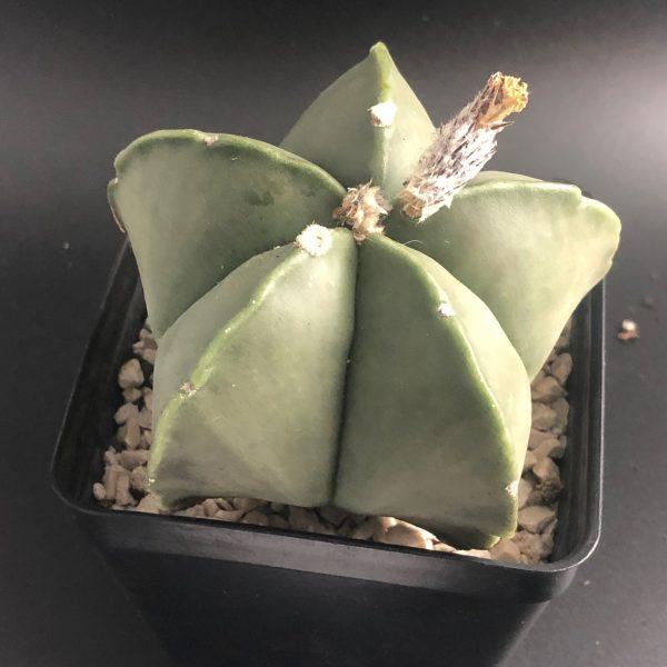 Seeds: Astrophytum Myriostigma Nudum (Hybrid)
