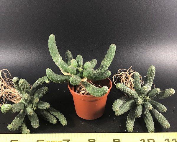 Euphorbia Inermis (Medusa Head)