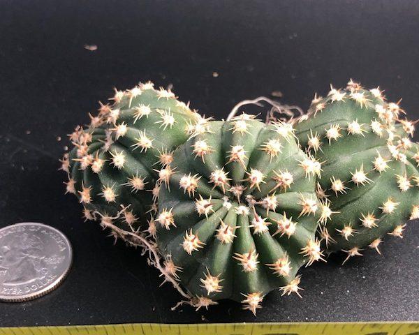 Echinopsis (3 heads)